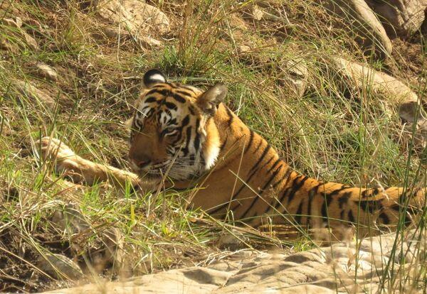 Bengal Tiger, Ranthambhore Tiger Reserve