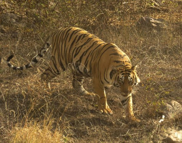 175. Bengal Tiger