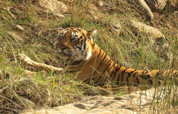 Bengal Tiger, Ranthan
