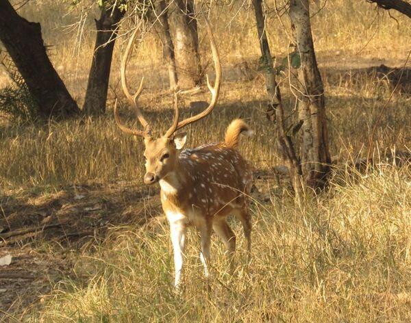 Spotted Deer, Ranthambhore Tiger Reserve