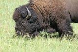 181. American Buffalo (Bison)