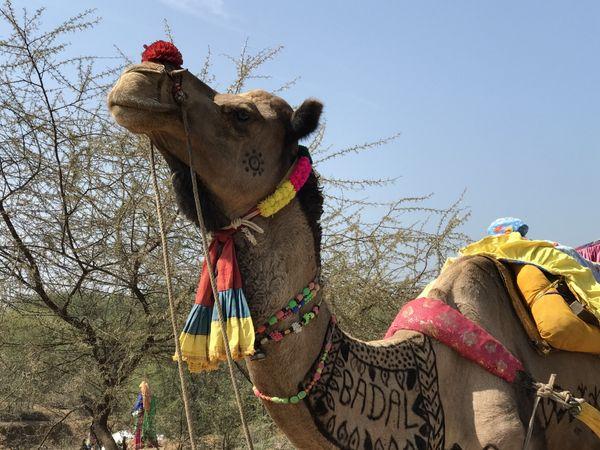 188. Camel