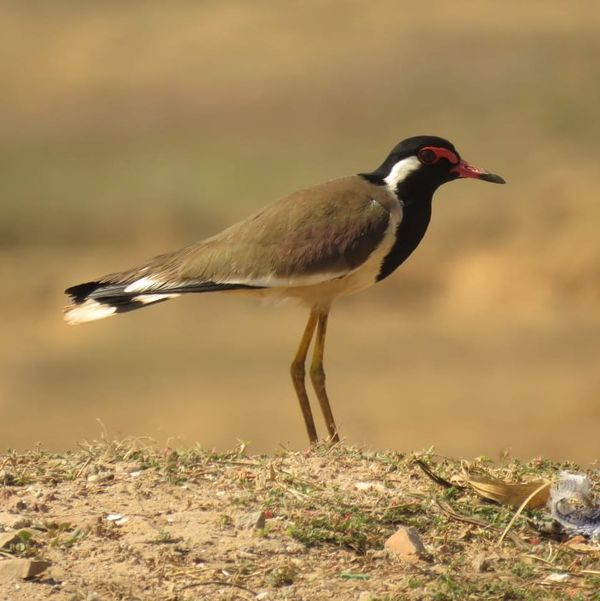 189. Red-wattled Lapwing