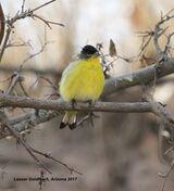 197z) Lesser Goldfinch
