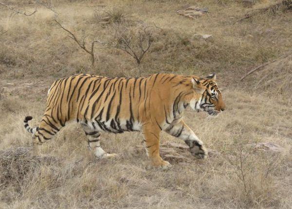 200. Tiger