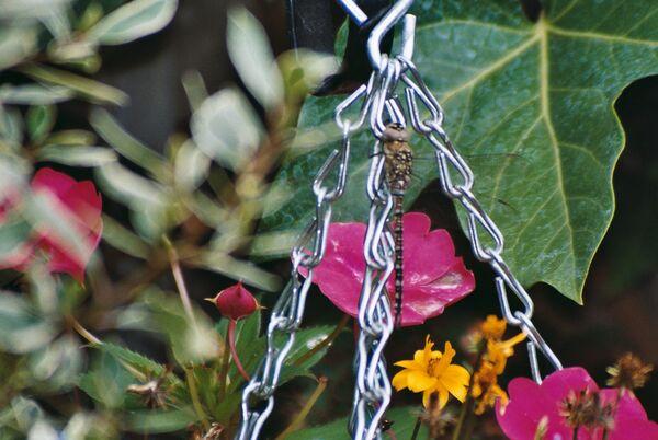 September ~ Garden Dragonfly