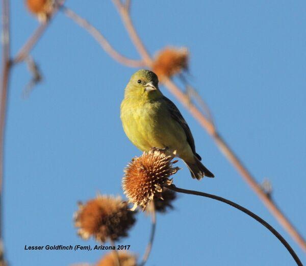 Lesser Goldfinch (Fem), Arizona