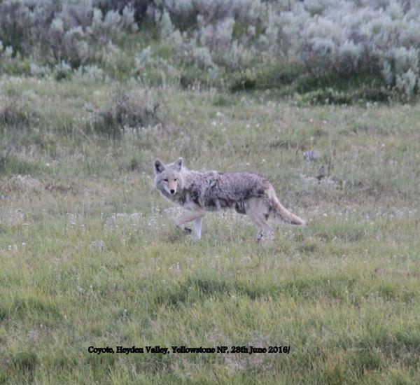 201. Coyote