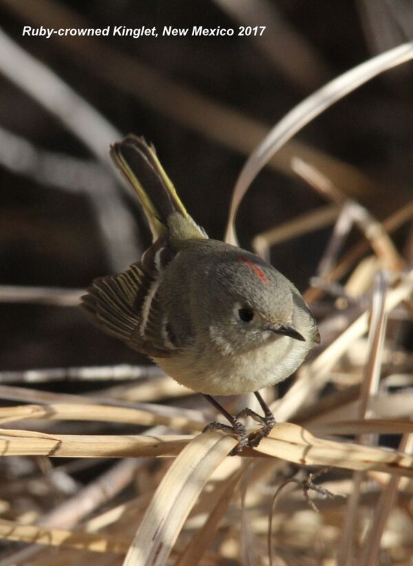 Ruby-crowned Kinglet, New Mexico