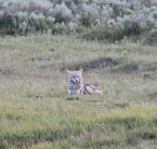 202. Coyote