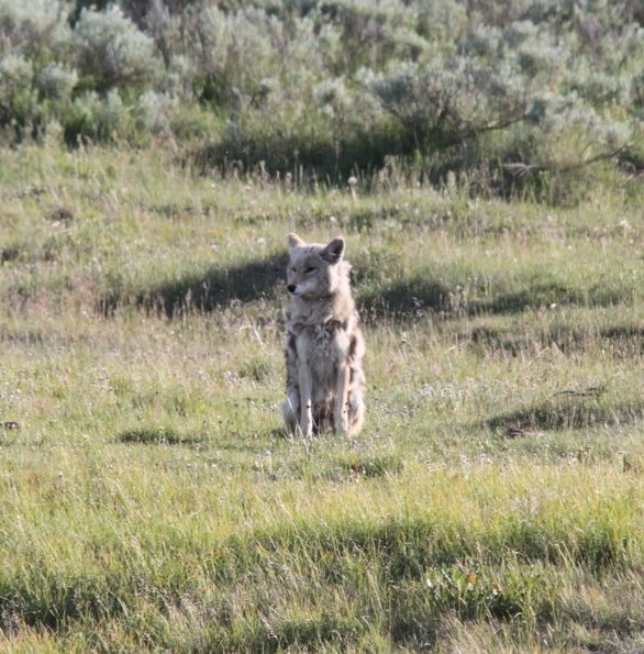 203. Coyote