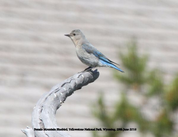 208. Female Mountain Bluebird