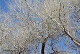 214) Cotton wood Trees