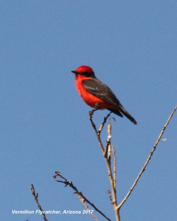 216z) Vermillion Flycatcher