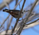 218z) White-breasted Nuthatch