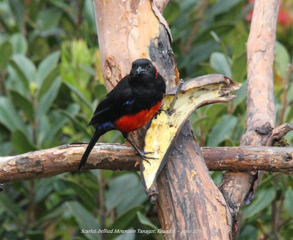 21st #10 ~ Scarlet-bellied Mountain Tanager