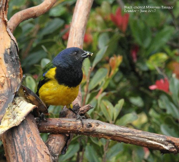 21st #31 ~ Black-chested Mountain Tanager
