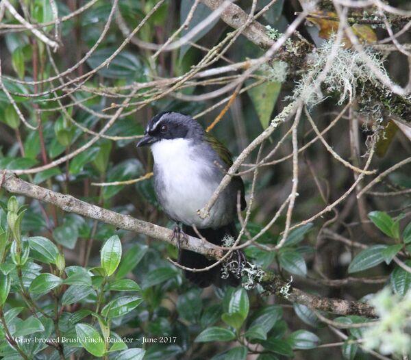 Gray-browed Brush-finch