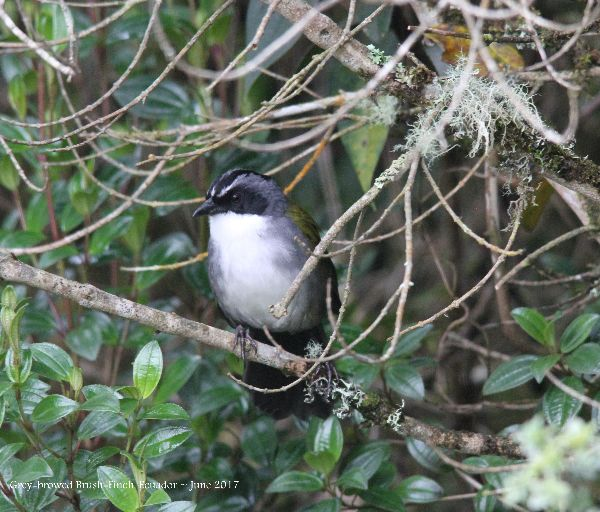21st #39 ~ Gray-browed Brush-finch