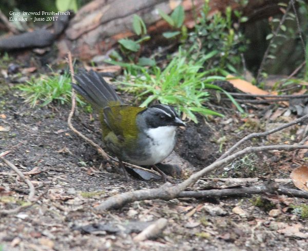 21st #39a ~ Gray-browed Brush-finch