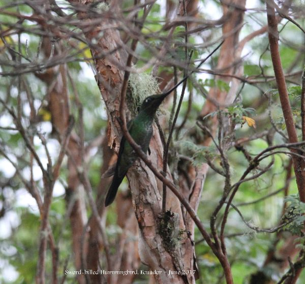 21st #40a ~ Sword-billed Hummingbird