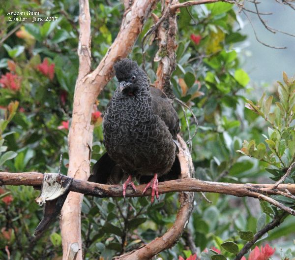 21st #46 ~ Andean Guan