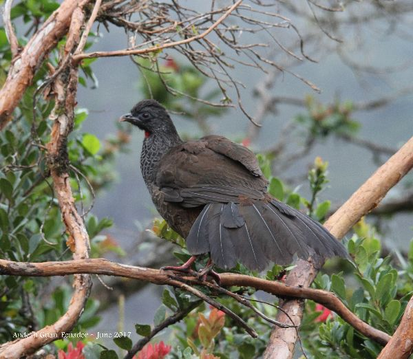 21st #55 ~ Andean Guan