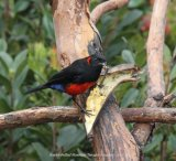 21st #9 ~ Scarlet-bellied Mountain Tanager