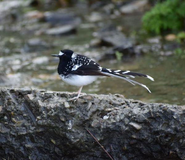 220a. Spotted Forktail