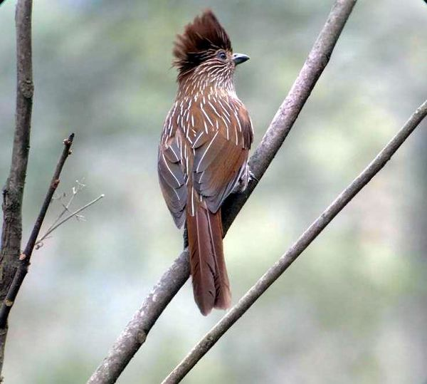 223. Crested Laughingthrush