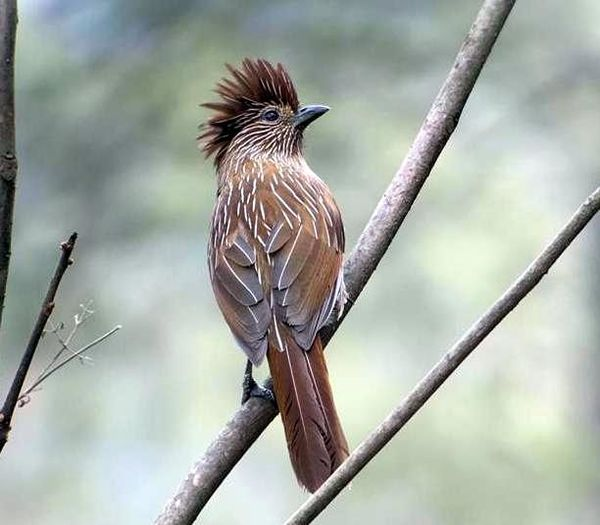 224. Crested Laughingthrush