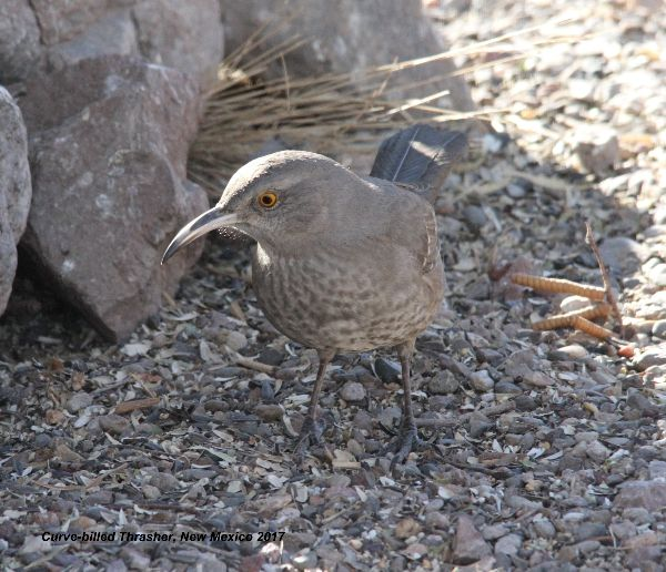 227az) Curve-billed Thrasher