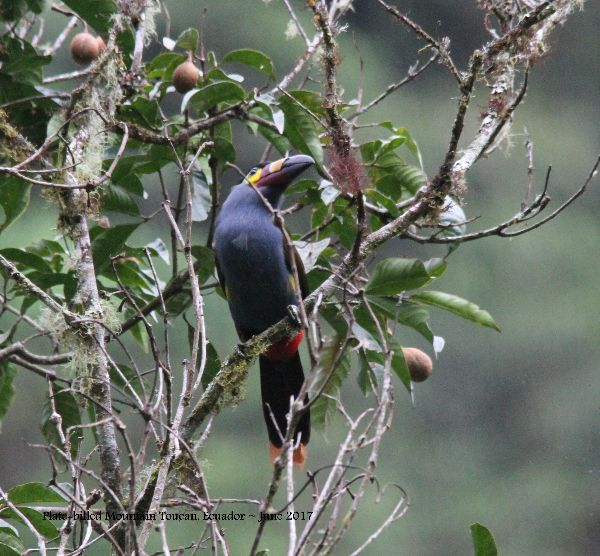 22nd #27 ~ Plate-billed Mountain-toucan