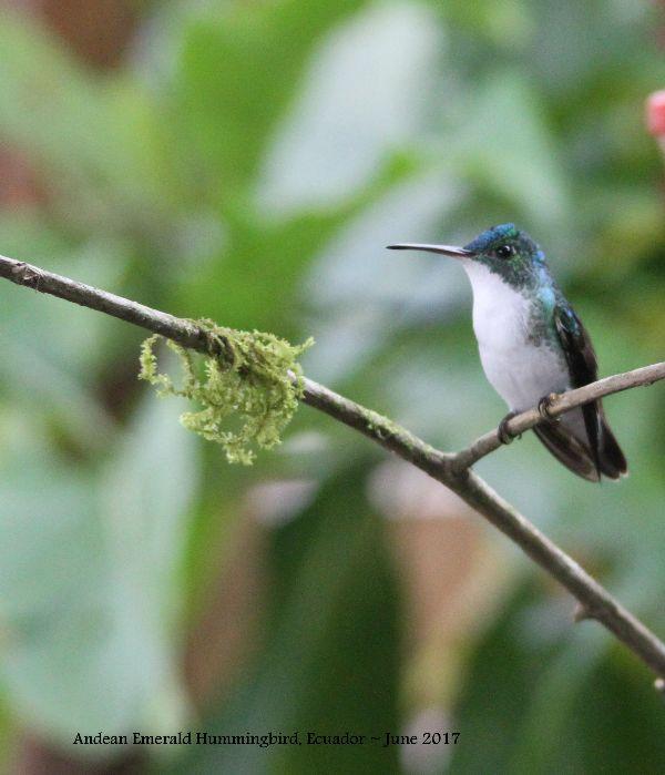 22nd #34 ~ Andean Emerald Hummingbird