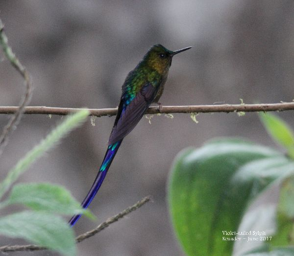 22nd #46 ~ Violet-tailed Sylph