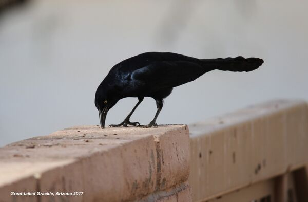 Great-tailed Grackle, Arizona
