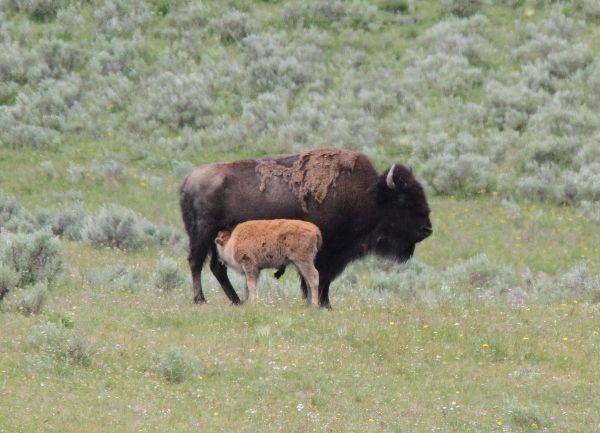 237. Bison & Calf