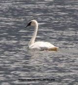 238. Trumpeter Swan