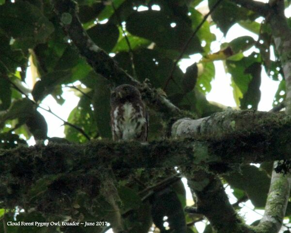 Cloud Forest Pygmy-owl