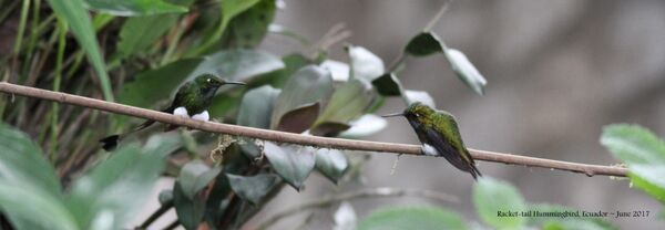 23rd #20 ~ Booted Racket-tail