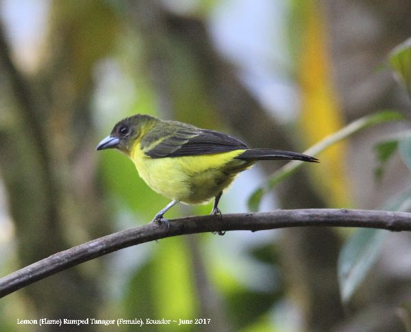 23rd #4 ~ Lemon-rumped Tanager (Fem)