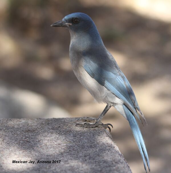 241z) Mexican Jay