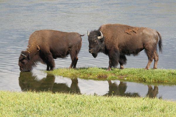 242. Bison