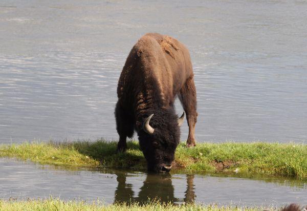 243. Bison