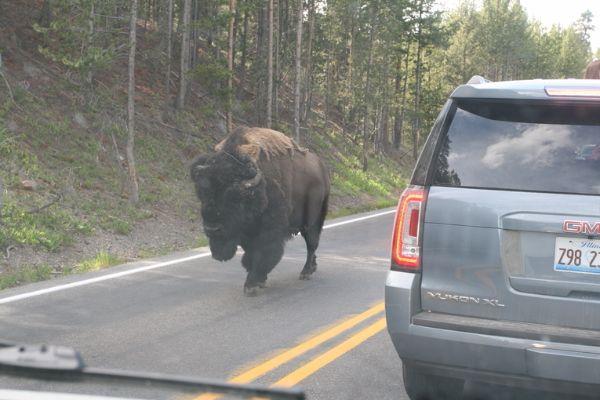 244. Bison