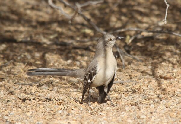 246z) Northern Mockingbird