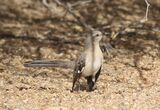 246z) Northern Mockingbird