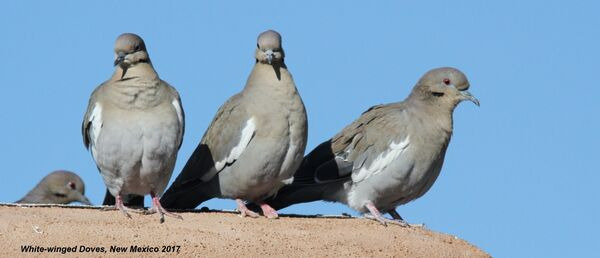 248z) White-winged Dove