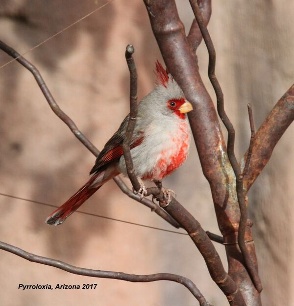 Pyrrhuloxia, Arizona