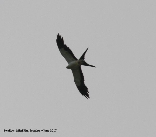 24th #6 ~ Swallow-tailed Kite 17